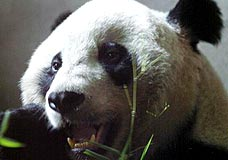 panda_marrom