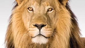um leão por noite