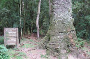 o pinheiro ferido